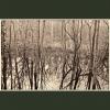 Coppet's Wood #4